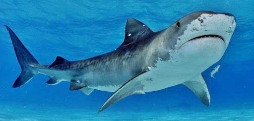 Интересные факты о белых акулах